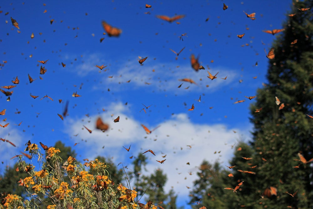 Large cluster of monarch butterflies migrating.