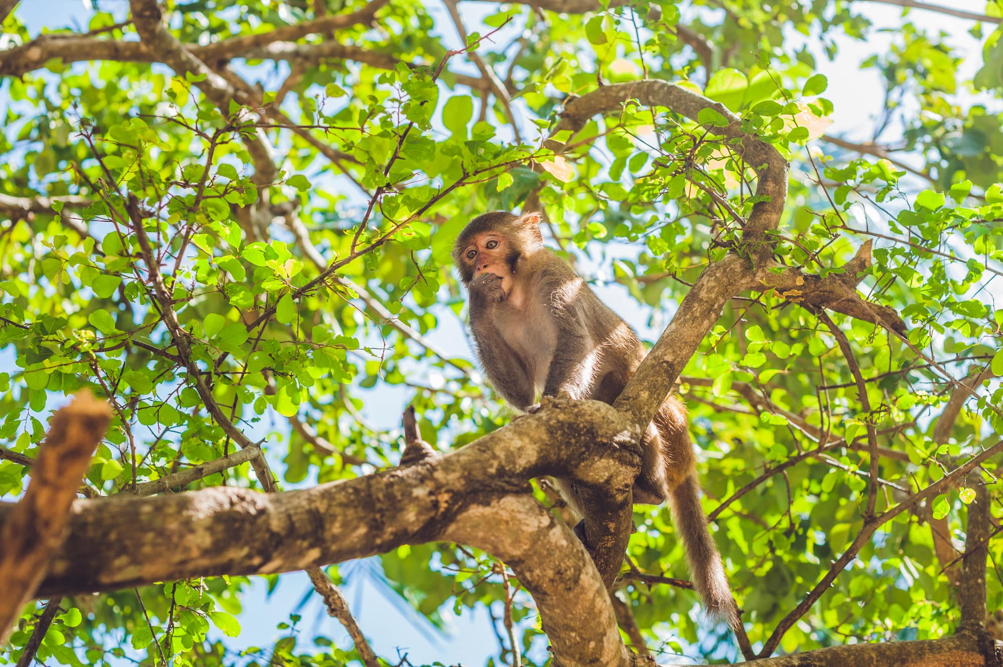 Rhesus macaque monkey sitting in tree covering its mouth