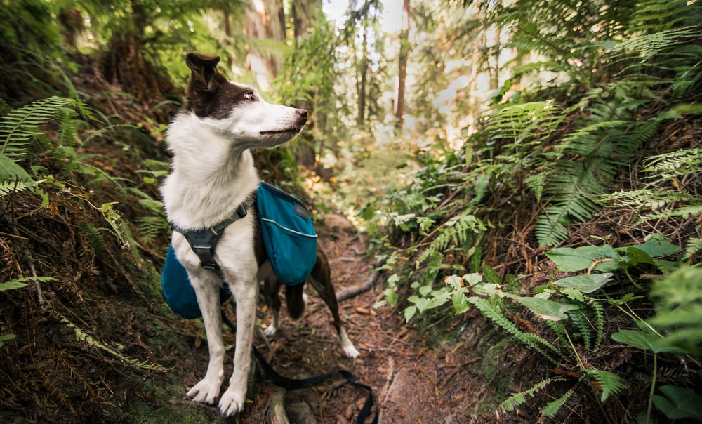 Dog with backpack in a mossy fern forest.
