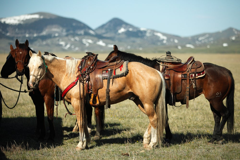 Horses tied up in Western Tack in an alpine field.