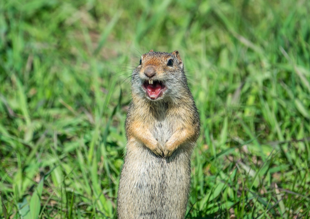 Prarie dog standing up with mouth open, barking in a grassy field.
