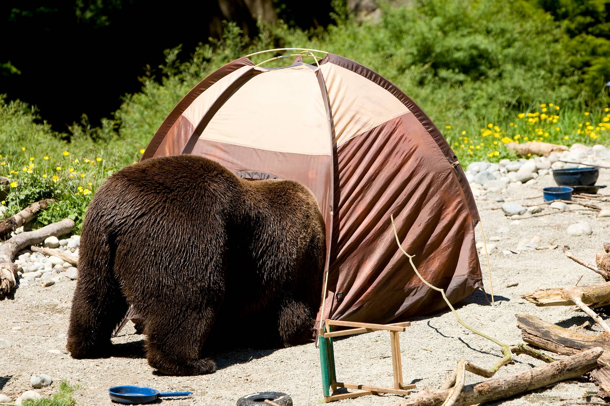 Bear crawling into a tent door.