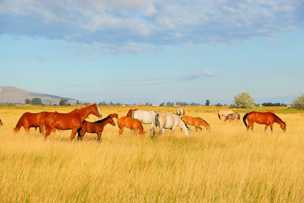 Horses grazing in a tall grassy field in Oregon