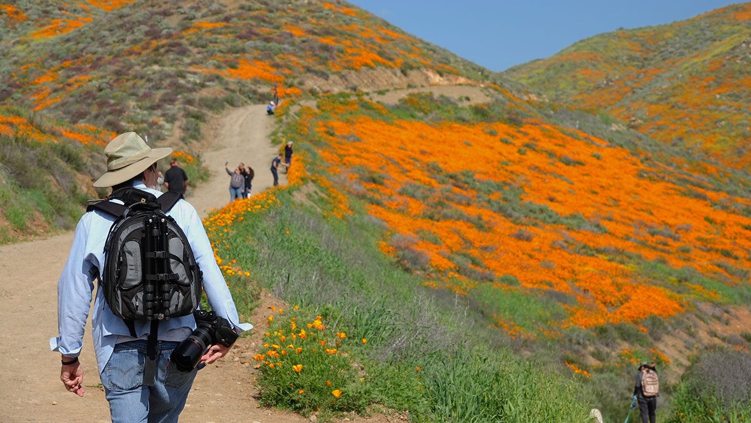 a person walks on a dirt trail toward a crowd of people taking photos of a field of orange wildflowers