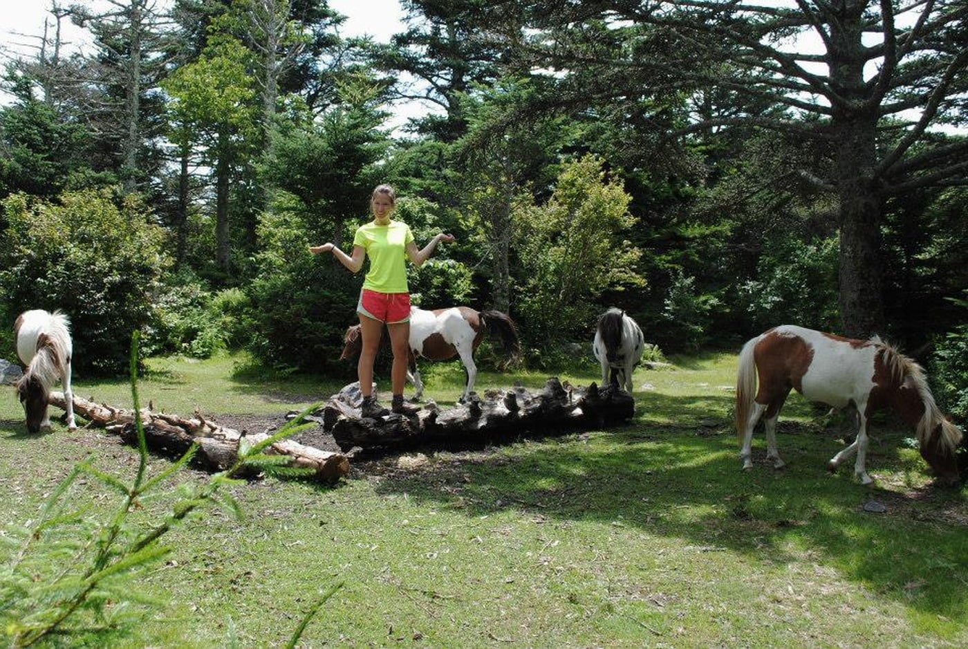 Hiker stands on log in between group of spotted grazing ponies.