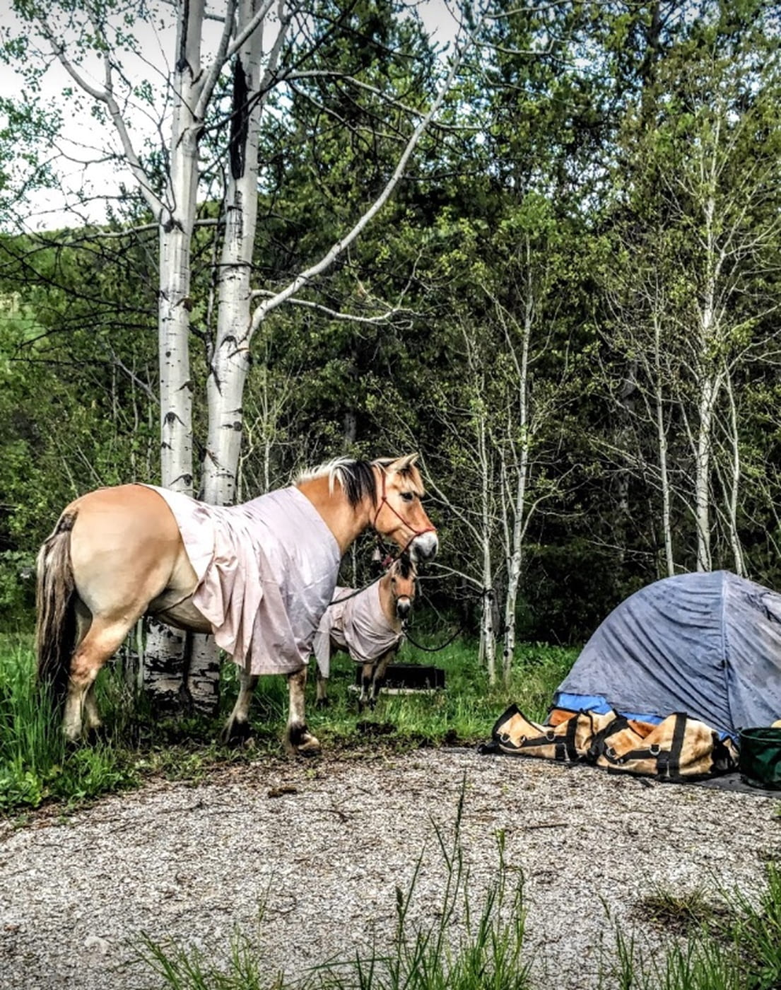 Haflinger horses in blankets tied up beside tents and gear.