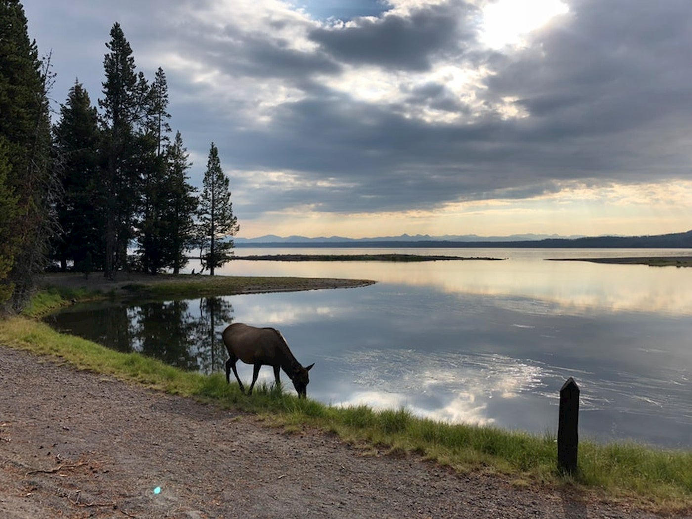 Elk grazing beside a large reflective lake in Wyoming at Grant Village.