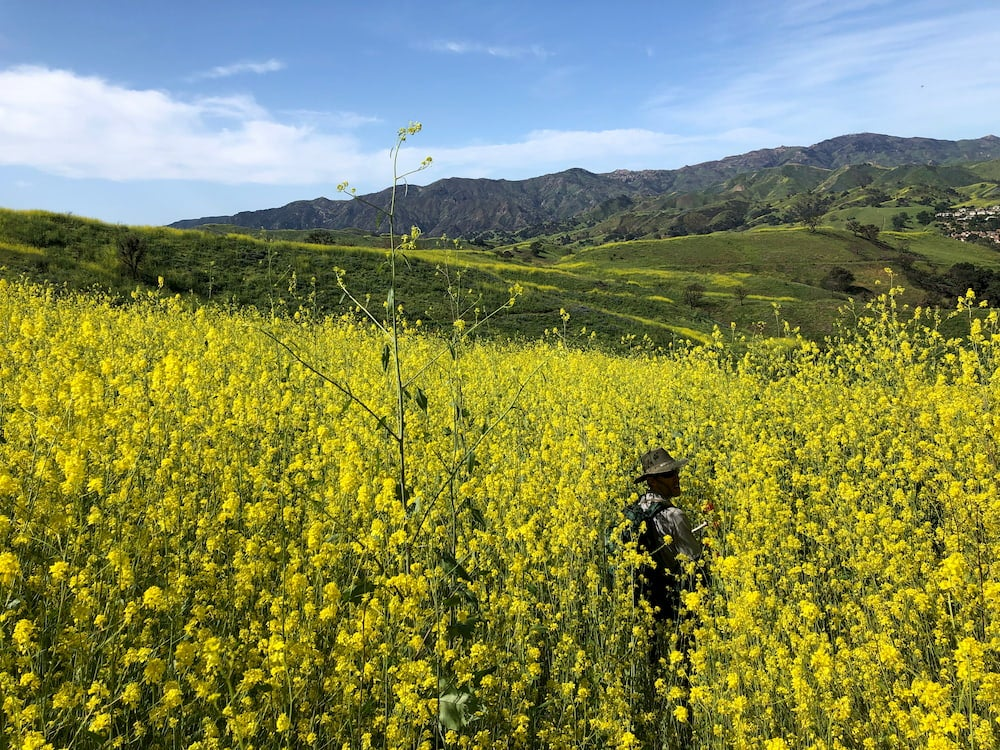 A man stands in very tall yellow weeds in california