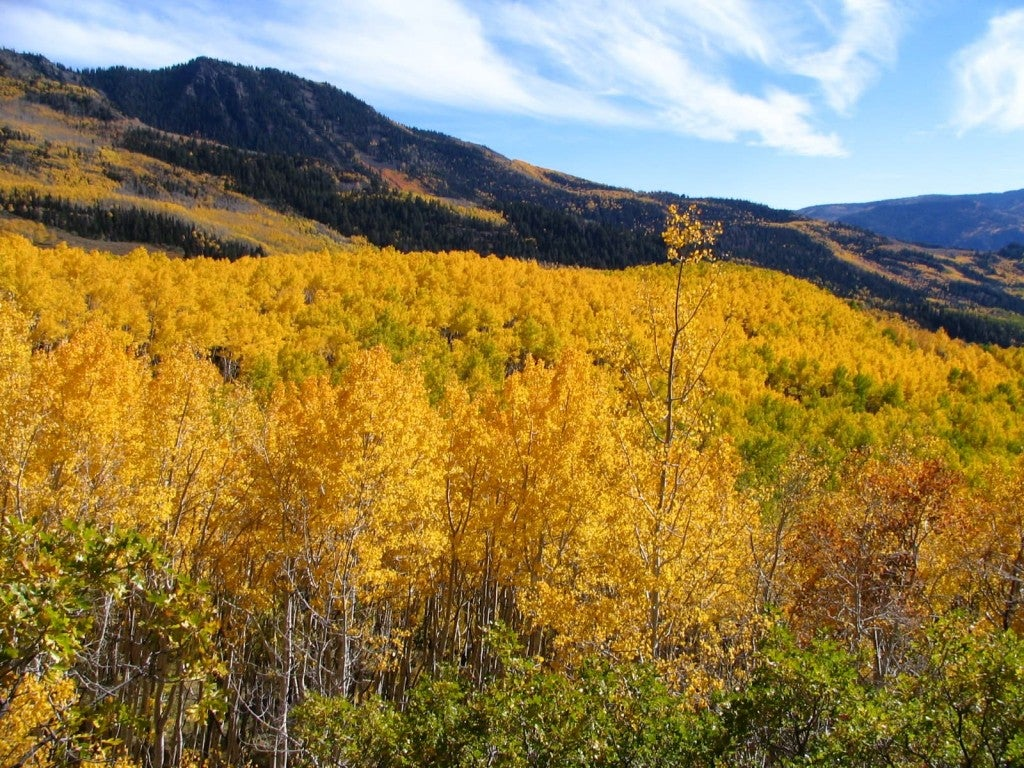 Pando Grove in fall with mountains in the background.