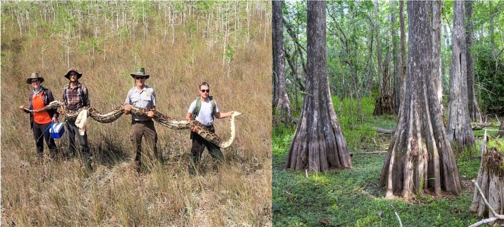 a team of four people hold up a 17-foot everglades python, and a grove of swamp cypress trees