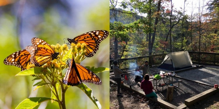 Left: monarchs flocking to a flowering plant. Right: campsite at Amicola state park.