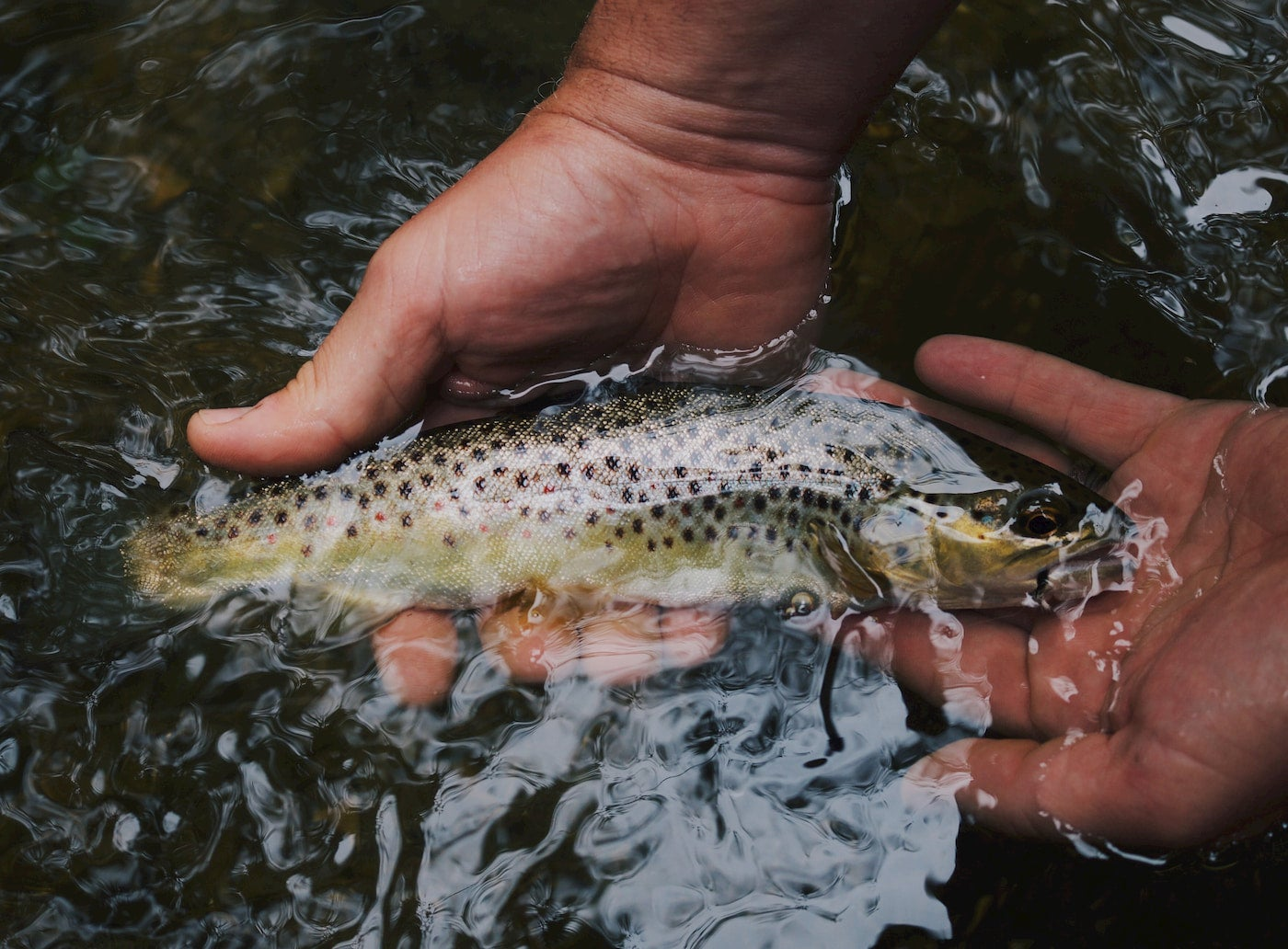 Close up of two hands holding a freshly caught rainbow trout underwater.