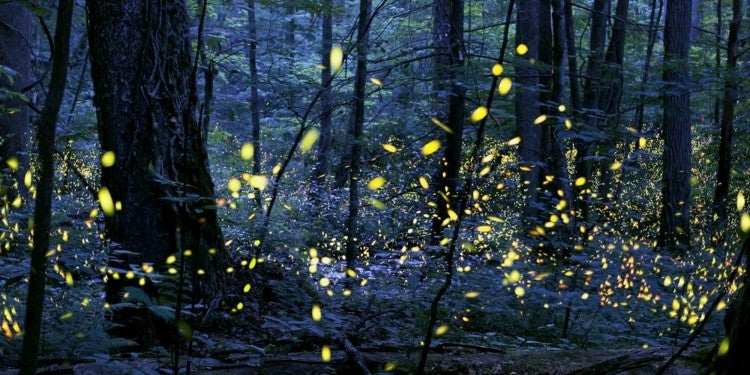 Synchronous Fireflies in the Great Smoky Mountains National Park
