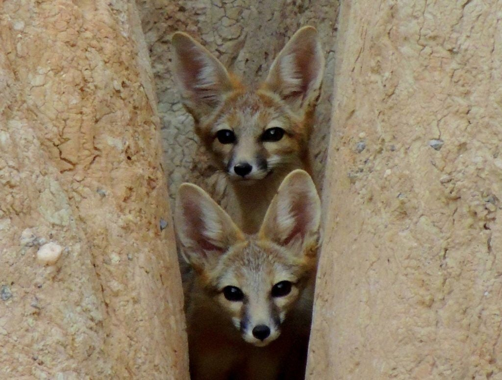 two baby desert foxes peer out from a stone gorge