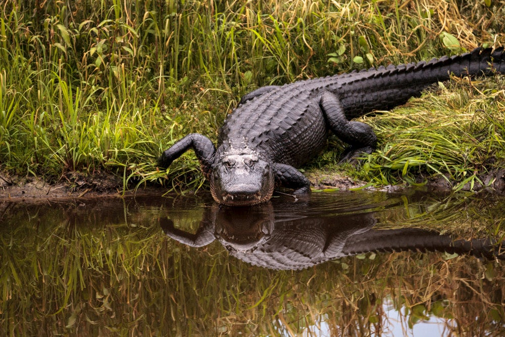 Alligator crawling into water with marsh in background