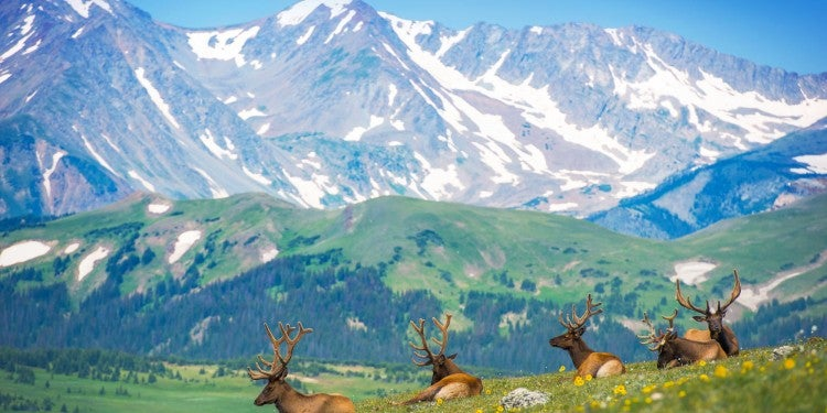 Elk lying in alpine field with colorful mountains in background