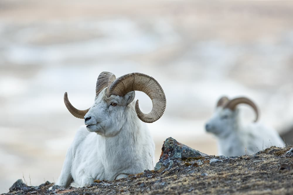 Dall Sheep rams (Ovis dalli) lie on the rocky slopes in the mountains