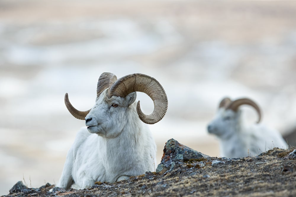 Two Dall sheep rams on rock