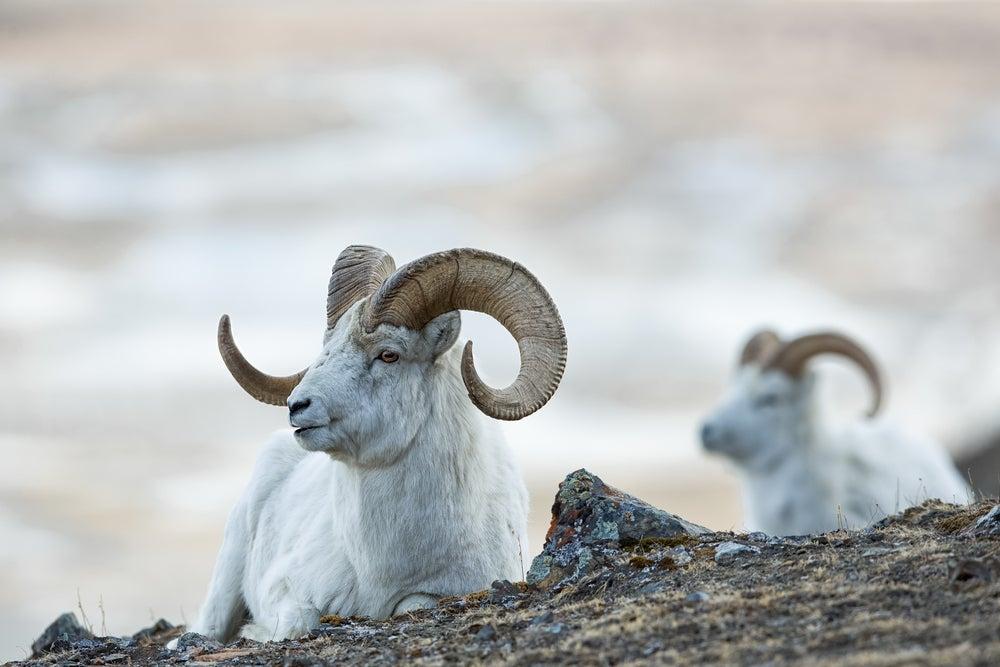 Two Dall sheep rams on rock