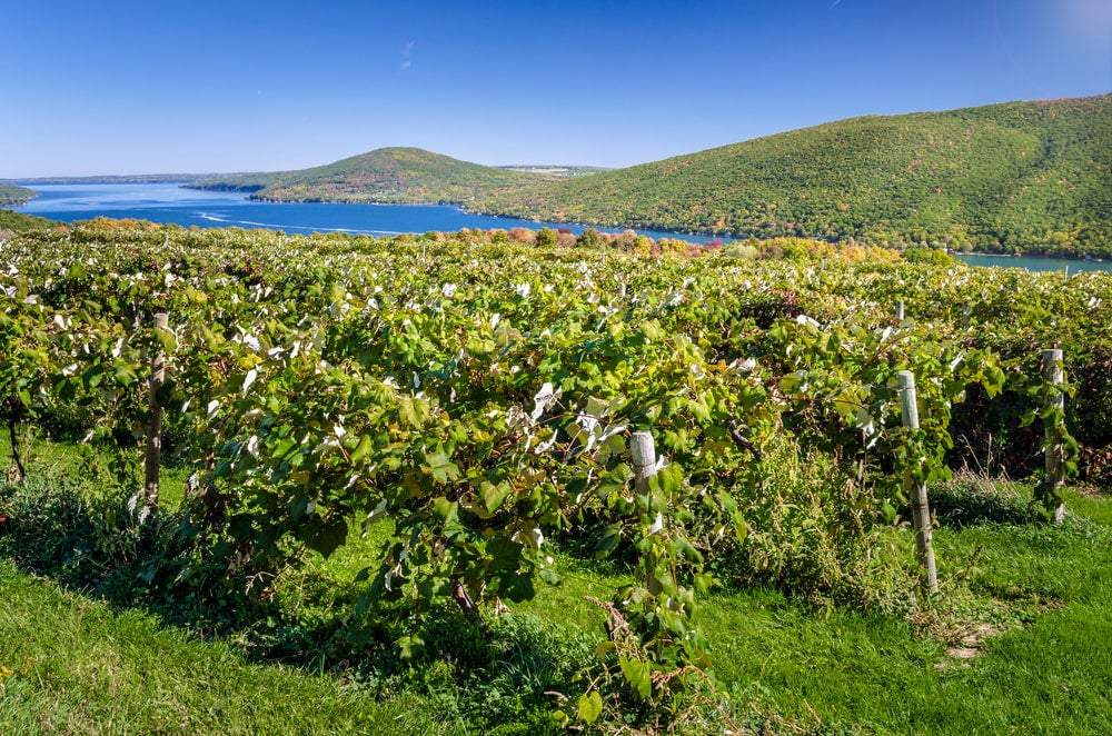 Vineyard with lakes in background