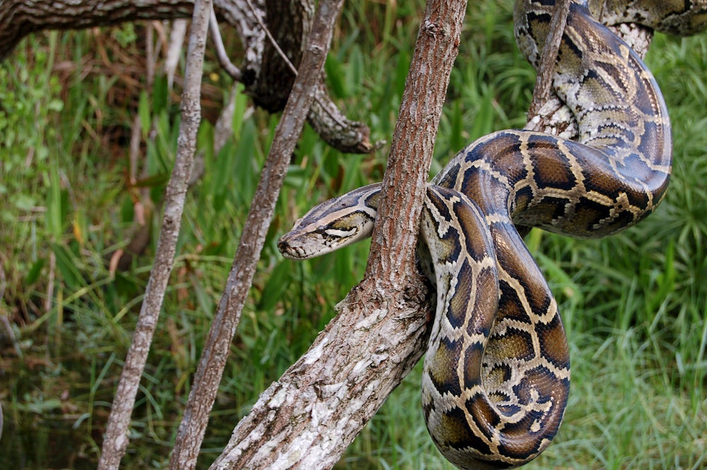 a burmese python slithering through tree branches in the everglades
