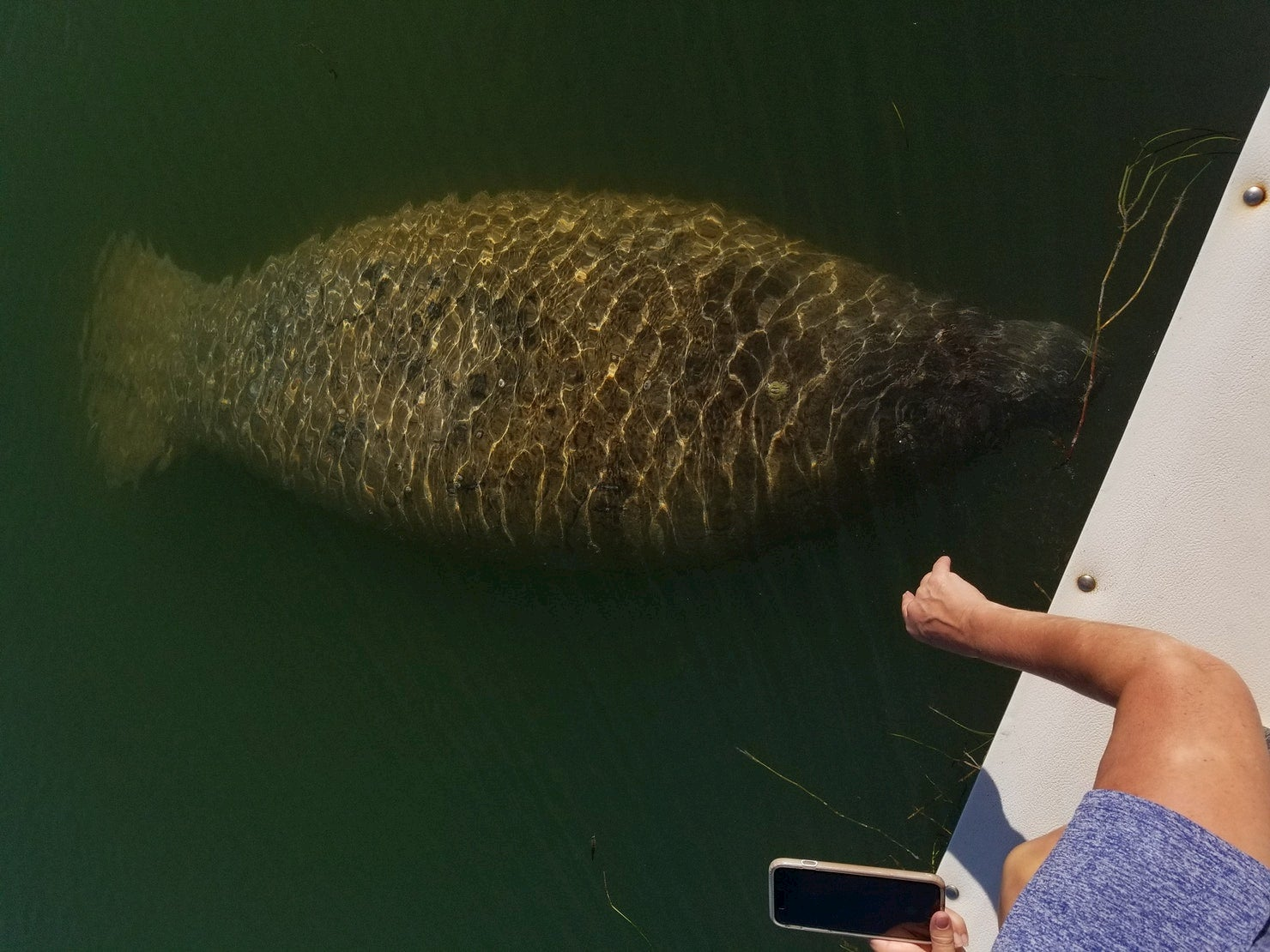 Manatee swimming along a dock.