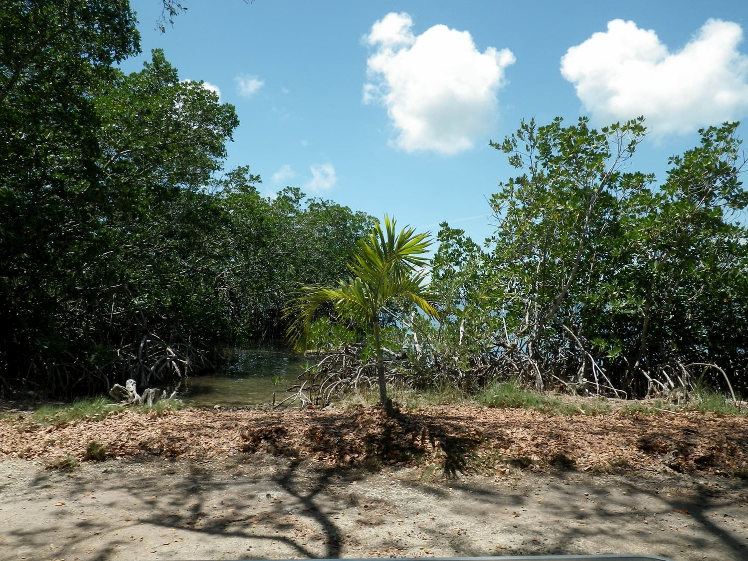 Mangroves and palm vegetation in the Florida KEys.
