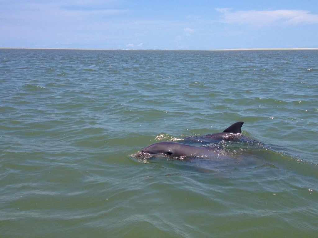 two atlantic bottlenose dolphins swimming