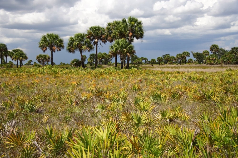 a field of palm shrubs growing in a florida state park