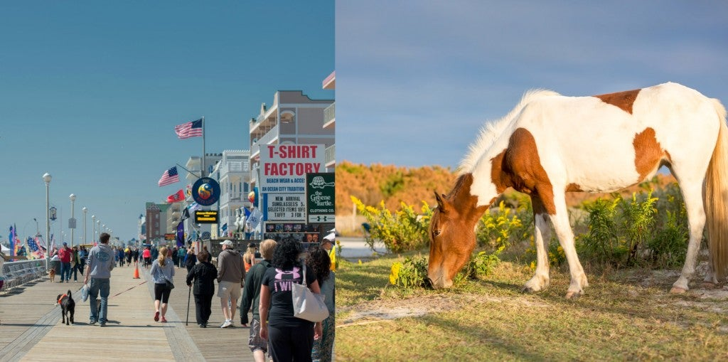 a split image of tourists on the ocean city maryland boardwalk, and a wild pony grazing near a campground
