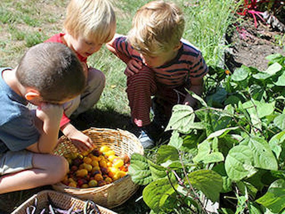 Kids picking cherry tomatoes.