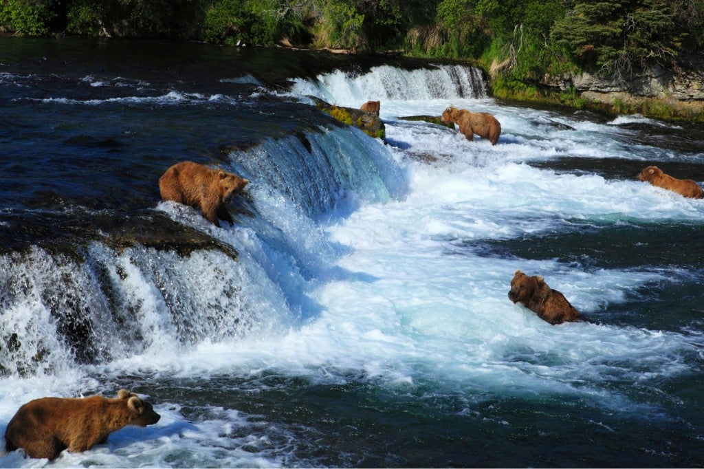 many bears fishing for salmon in brooks falls river in katmai national park