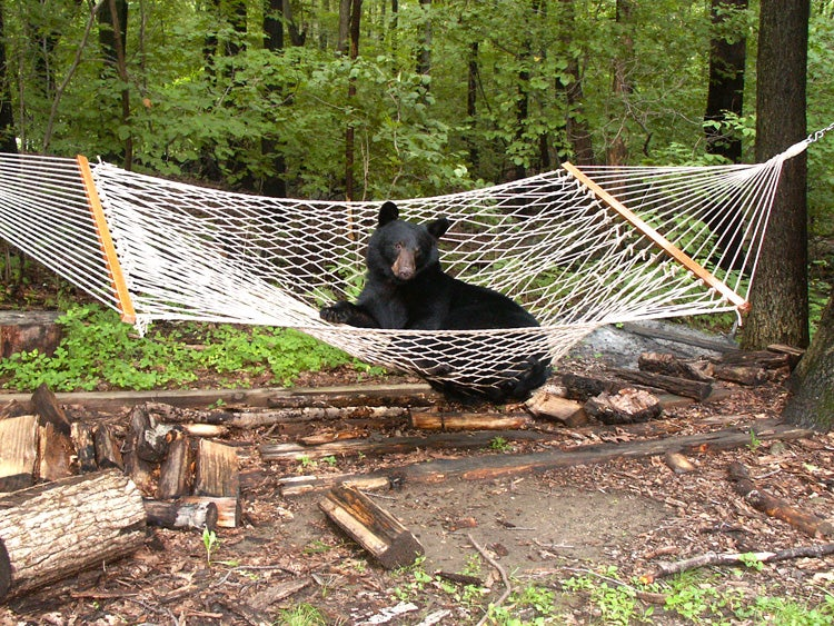 black bear in hammock
