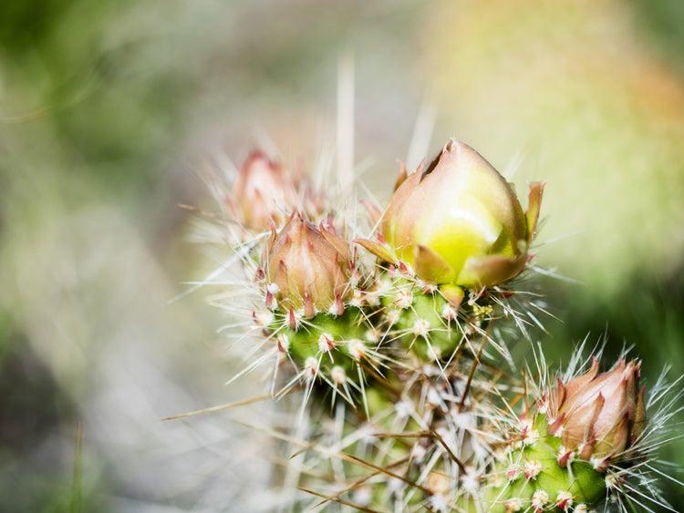 prickly pear in pawnee grassland colorado