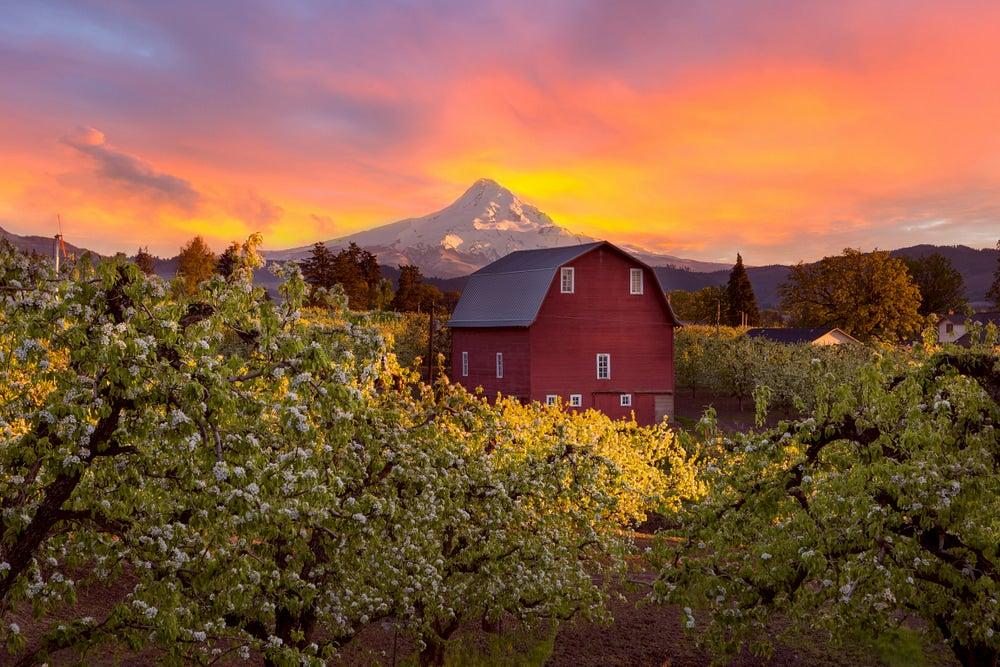 Barn at sunset with Mt. Hood in background