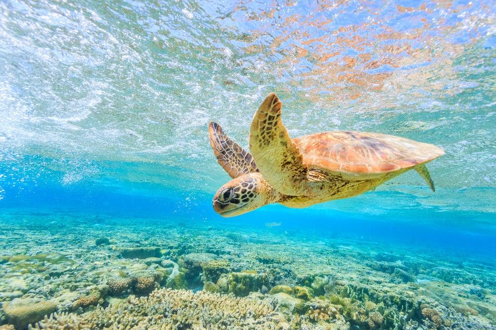 Turtle in blue water