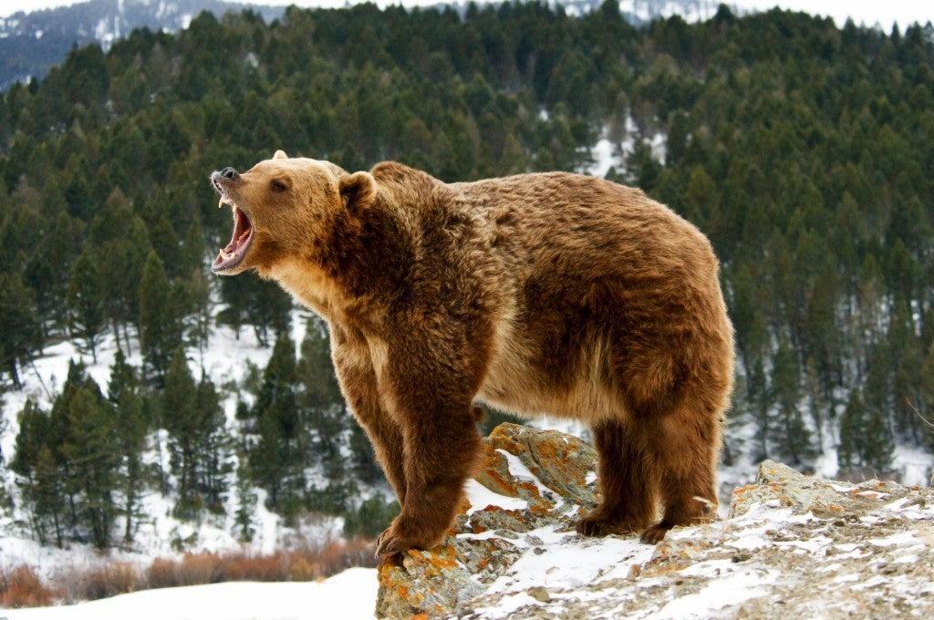 Bear growling in the wilderness
