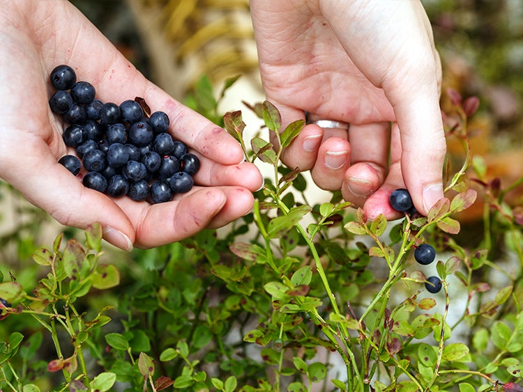 picking wild berries