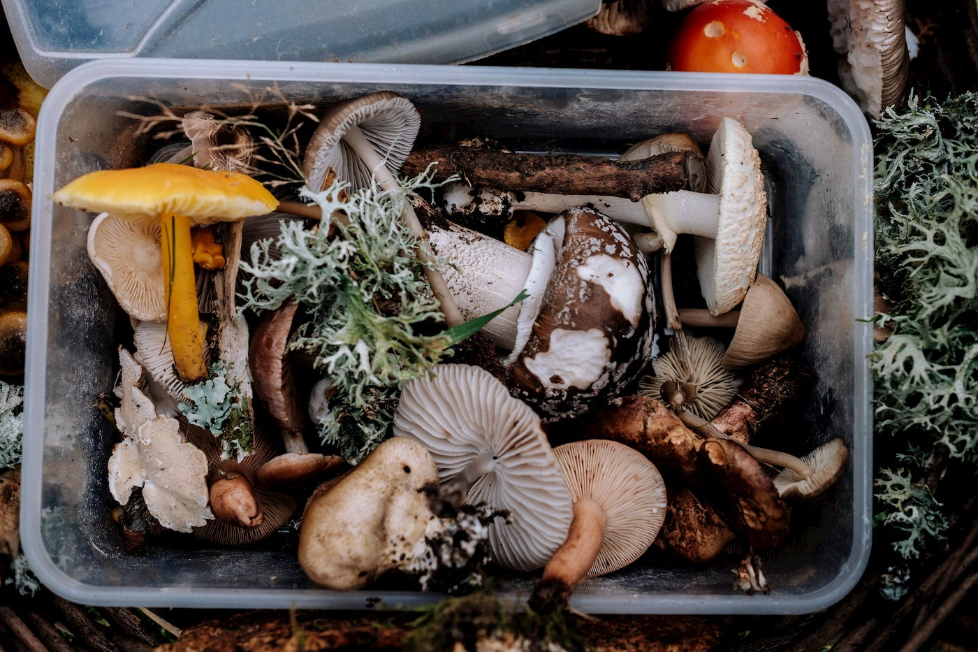 Foraged mushrooms in a container.