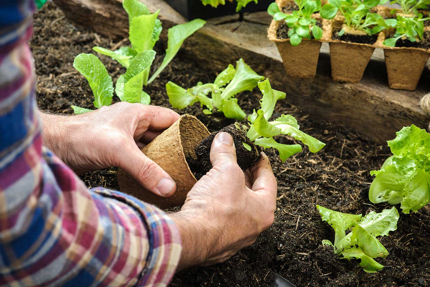 Two hands, one holds a small lettuce plant and the other holds a small pot near soil