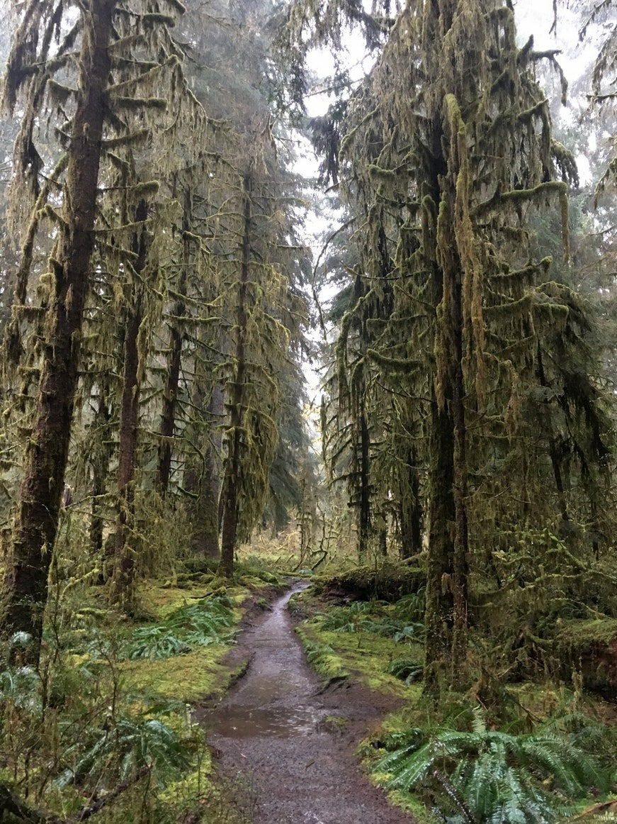 Trail through mossy forest in Hoh Rain Forest.