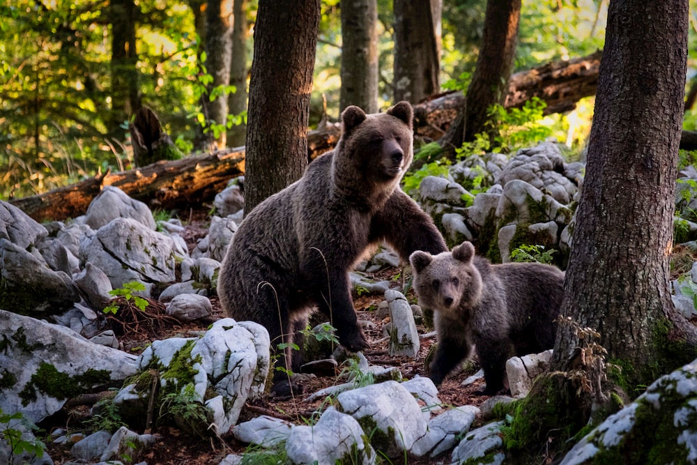 Mother and baby bear in woods