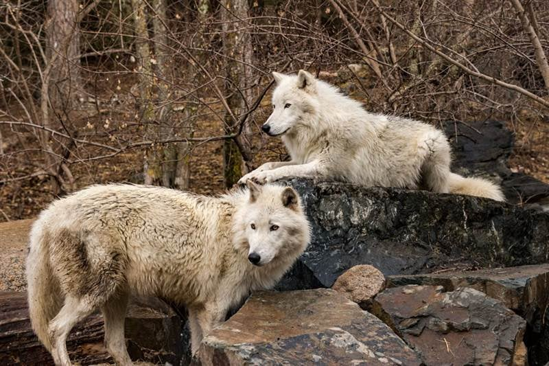 two white wolves sit in fall foliage
