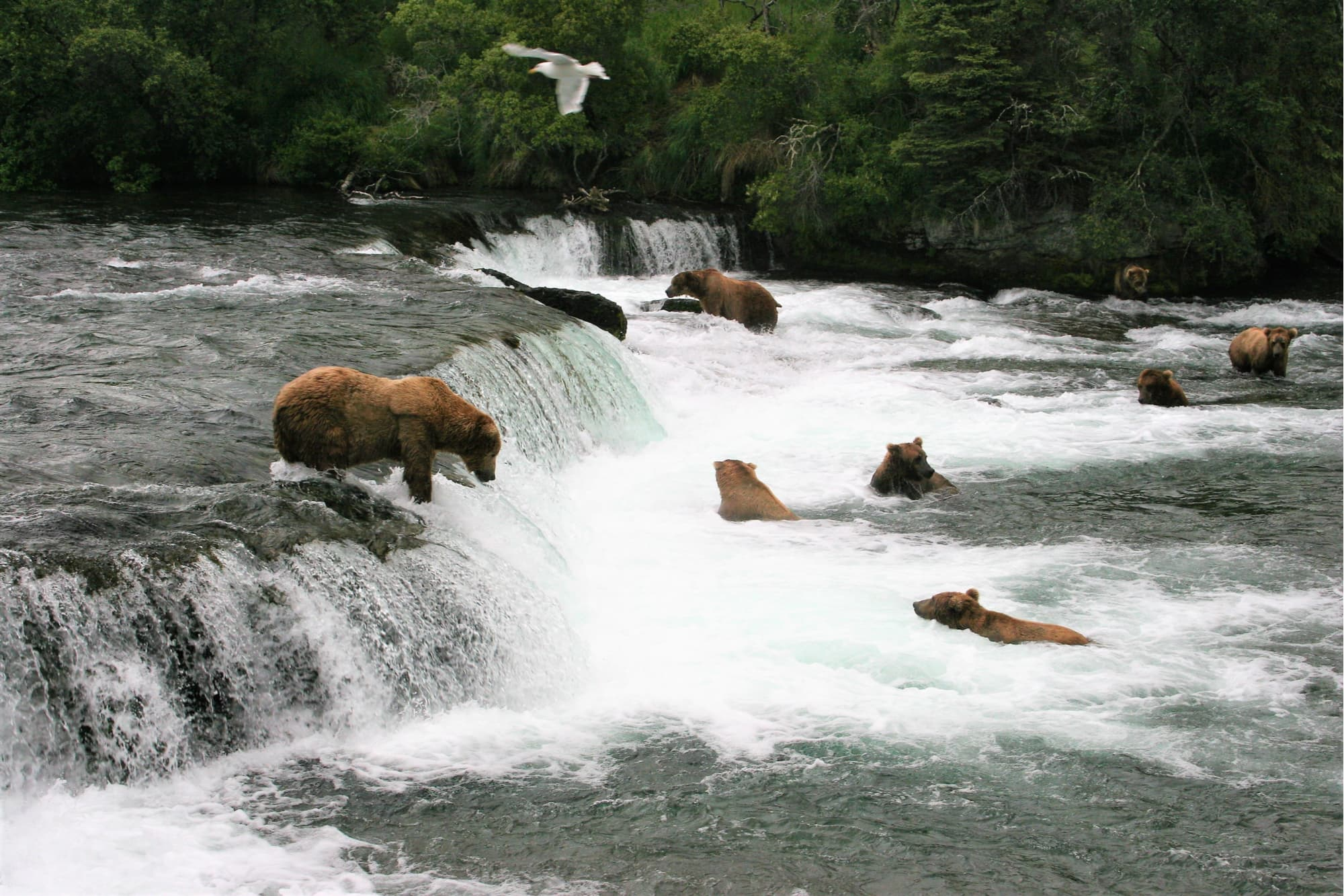 a group of bears waiting for fish in the brooks falls area of katmai national park in alaska