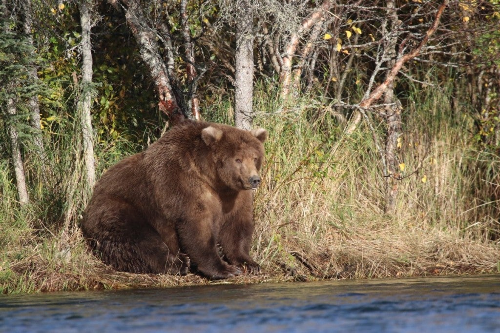 a fat bear sitting awkwardly by the river