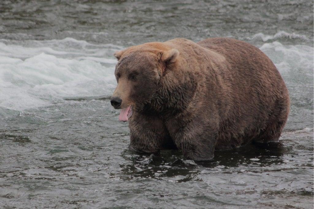 a very fat bear in the river in alaska