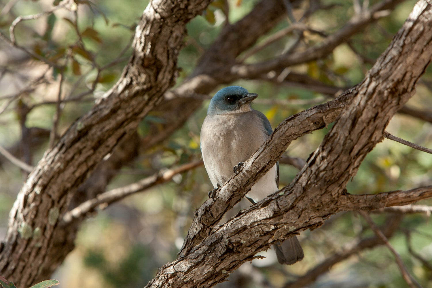 Mexican Jay sitting on a tree branch