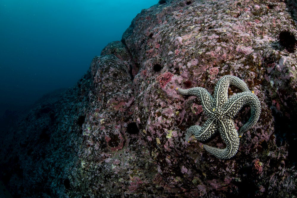 giant sea star on a rock