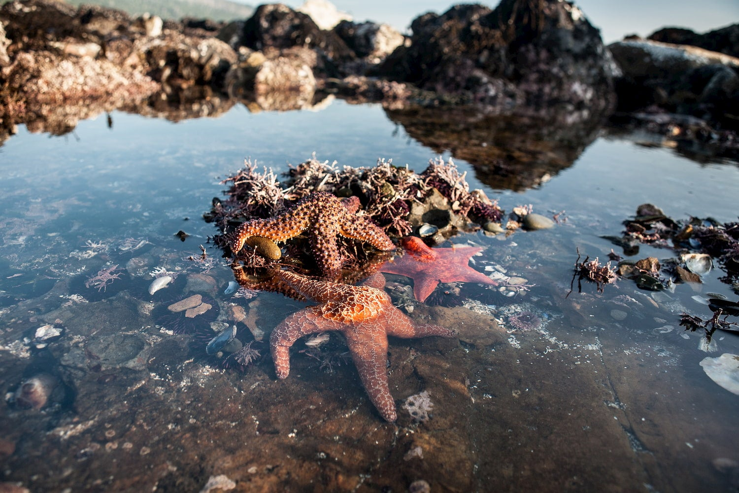 seastars exposed in low tide
