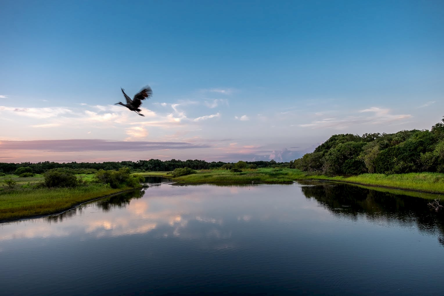 Bird in motion flying above a glassy river surrounded by marshlands.
